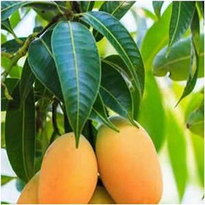 Boiled Mango Leaves Cures Diabetes - Mzansi Stories