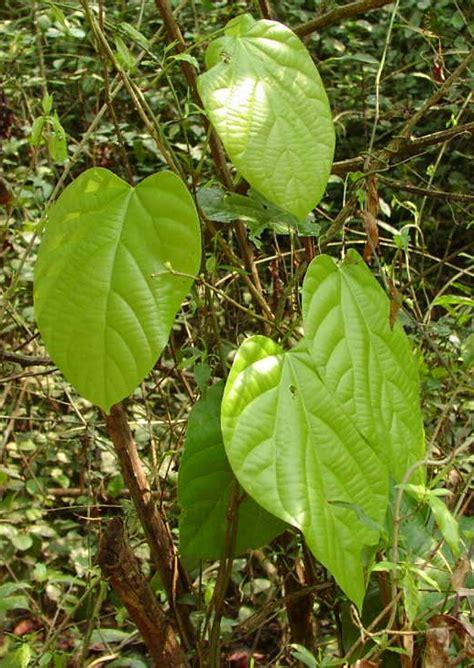 tanaman obat alami  kanker