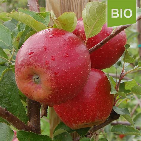 Miete Für Den Herz Apfel Garten Für 3 Bio Apfel Der Sorte Wellant Der Herzapfelhof Im Alten Land