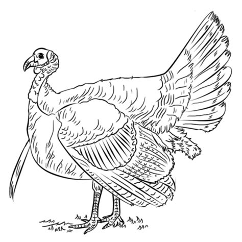 how to color a turkey turkey coloring page free printable coloring pages