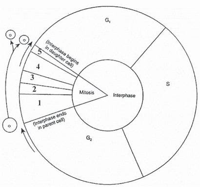 Cycle Cell Worksheet Biology Diagram Mitosis Coloring