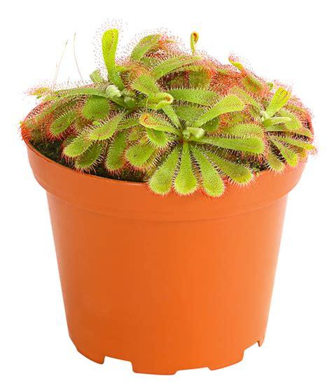 sonnentau pflanze pflege sonnentau dehner