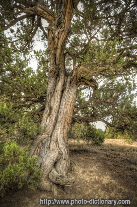 juniper tree photopicture definition  photo
