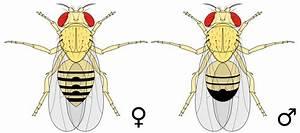 Drosophila melanogaster – Wikipédia, a enciclopédia livre