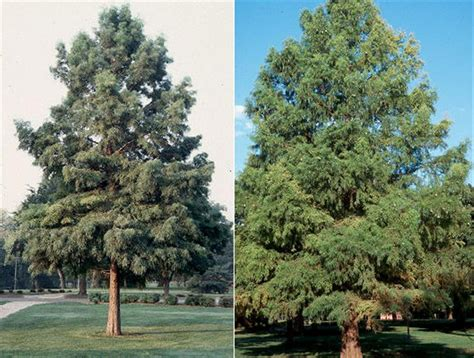 chicago illinois landscaping buy bald cypress trees online