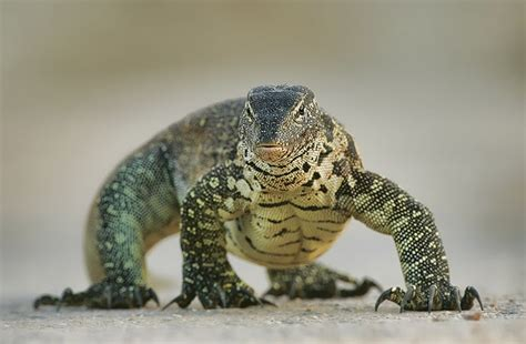 nile monitor nile monitor facts and pictures reptile fact
