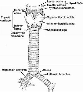 Dr  Hermes C  Grillo  Fig  2  Anatomy Of The Trachea And