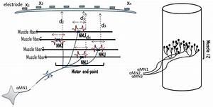 Illustration Of Nmjs  Motor Unit Iz  And Muscle Iz Band  Distribution