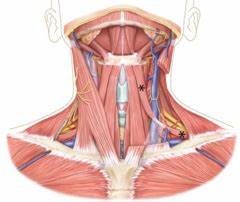 Session 26 - Anterior Triangle of the Neck Flashcards ...