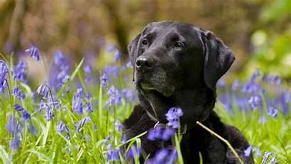 Labrador Lab Desktop Wallpapers Backgrounds 1080p Puppy
