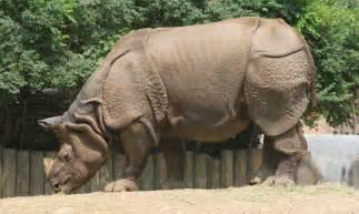 Zoo Indian Rhinoceros