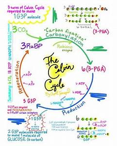 The Calvin Cycle Diagram Full Step By Step Explanation