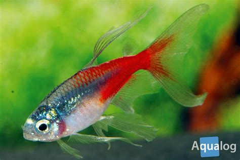 the neon tetra a fish that changed the world aqualog de