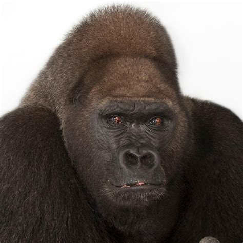 western lowland gorilla national geographic
