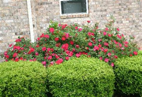how to trim roses in summer knock out 174 rose pruning in summer walter reeves the georgia gardener