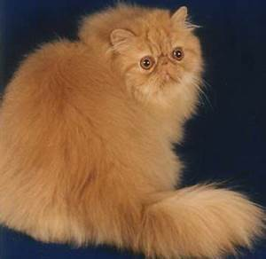 Image - Ginger Persian cat.jpg - Dogs and Cats Wiki