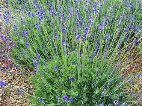 can i plant lavender in september the 2 minute gardener september 2011