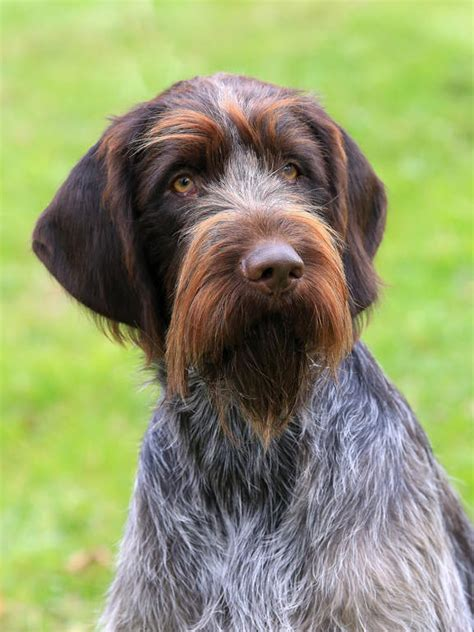 wirehaired pointing griffon non shedding wire haired terrier breeds picture