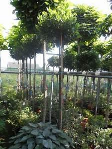 Kugelbäume Immergrün Winterhart : die besten 25 immergr ne pflanzen winterhart ideen auf pinterest winterharte pflanzen garten ~ Watch28wear.com Haus und Dekorationen