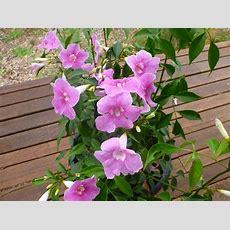 Pandorea Jasminoides 'funky Bellz'  Bower Of Beauty