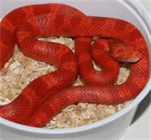 Amelanistic Bloodred Corn Snake (Fire)