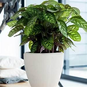 Pflanzen Die Kaum Licht Brauchen : gro e zimmerpflanzen die wenig licht brauchen zimmerpflanzen die wenig licht brauchen ~ Markanthonyermac.com Haus und Dekorationen