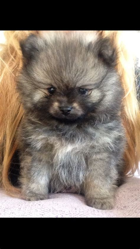 grey wolf sable pomeranian puppies  sale