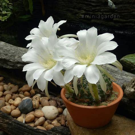 ความงามชั่วข้ามคืน ถึงเที่ยงวัน #บานวันเดียว 😊 #echinopsis ...
