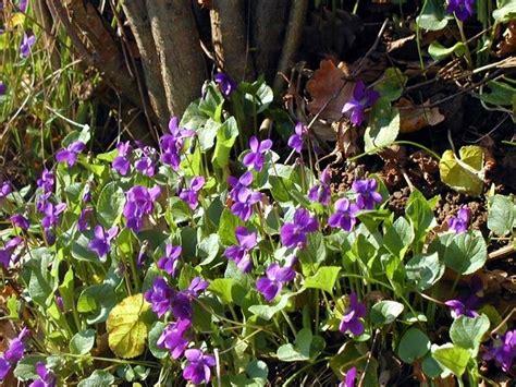 fiori le viole viole fiori piante annuali viole fiori giardino