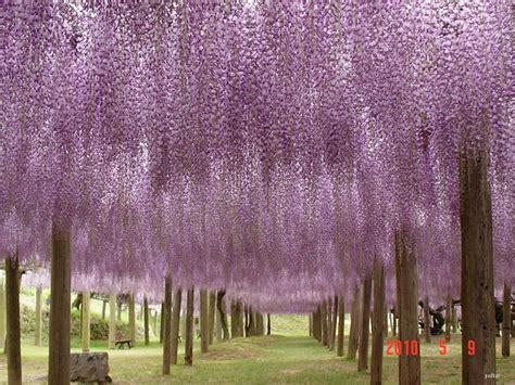 kawachi fuji garden in japan the wisteria flower tunnel at kawachi fuji garden 171 twistedsifter