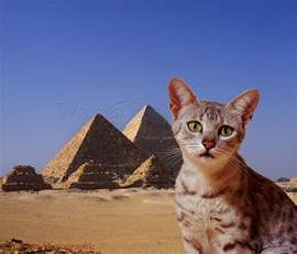 pharaoh cat 70 most beautiful mau pictures and photos