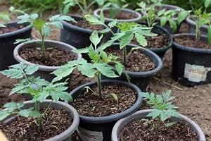 Quand Planter Lavande Dans Jardin : comment planter ses tomates techniques et conseils pour bien le r ussir ~ Dode.kayakingforconservation.com Idées de Décoration