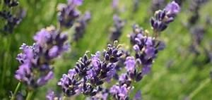 Lavendel Wann Schneiden : pflanzen gegen stechm cken ~ One.caynefoto.club Haus und Dekorationen