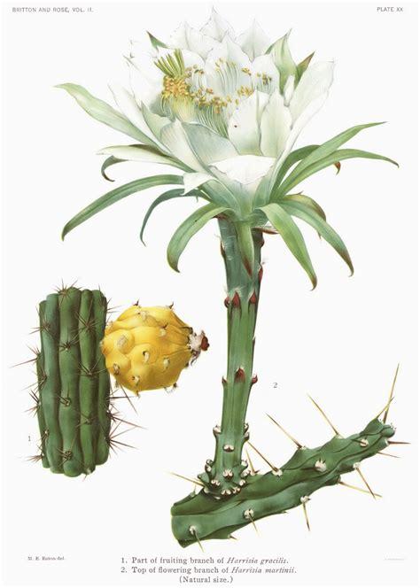 filethe cactaceae vol ii plate xx filteredjpg