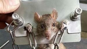 Wie Vertreibt Man Ratten : taiwan mann sperrt ratte in ein folterinstrument ~ Eleganceandgraceweddings.com Haus und Dekorationen