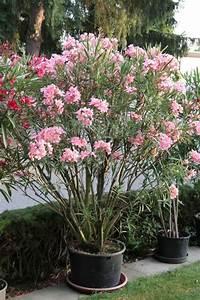 Pflege Von Oleander : oleander erfolgreich berwintern pinterest palmeras flor y jard n ~ Eleganceandgraceweddings.com Haus und Dekorationen