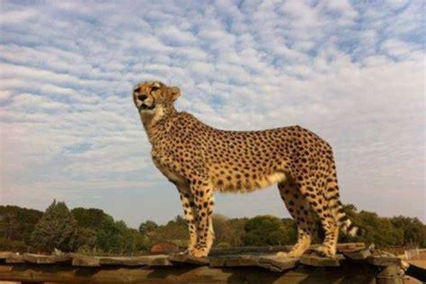 cheetah experience bloemfontein south africa