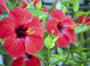 Stickstoffmangel Bei Pflanzen : hibiskus pflanzen bei eibisch anf ngerfehler vermeiden ~ Lizthompson.info Haus und Dekorationen