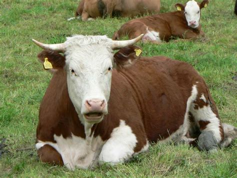 Brown And White Cow Background Image, Wallpaper Or Texture