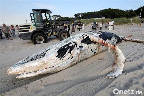 junger buckelwal tot aus ostsee gezogen onetz