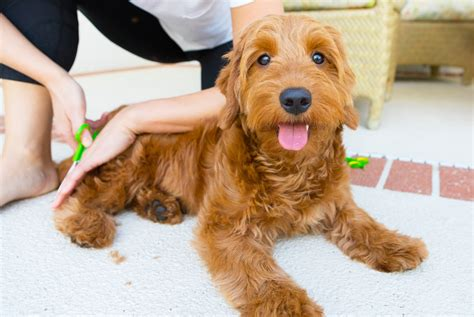 goldendoodle puppy grooming money groom cost being groomer tips genius ways save dog goldendoodles haircut brushes priceless pooch cuddling ah