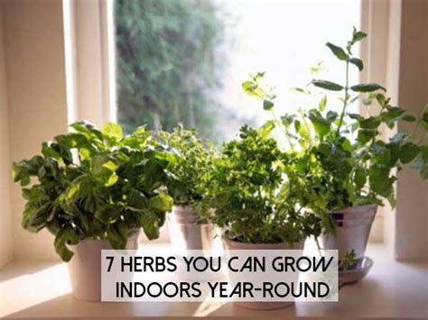 7 herbs you can grow indoors year shtf prepping