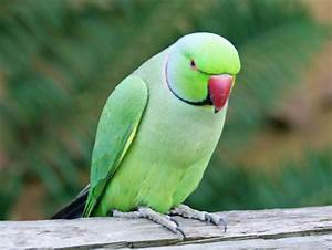 Ringneck Parakeet Facts, Pet Care, Temperament, Diet ...
