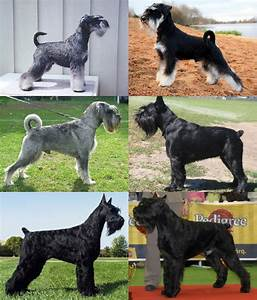 File:Schnauzer Size Montage.png - Wikimedia Commons