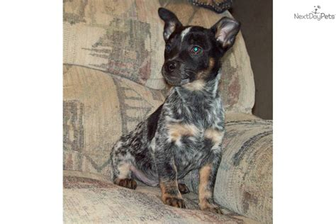 miniature blue heeler shedding border collie blue heeler mixed breed