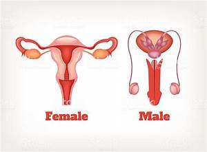 Man And Woman Reproductive System Vector Icon Set Stock