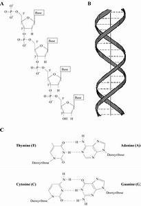 The Structure Of Dna  A  Chemical Composition Of The Sugar