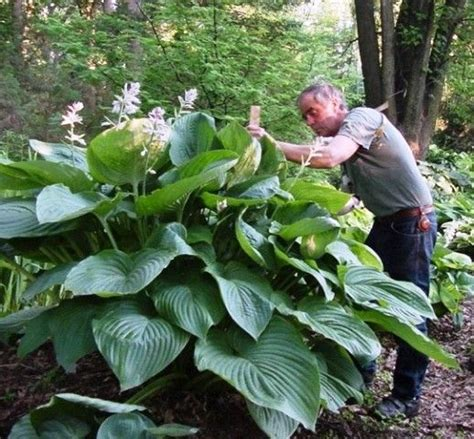 large hostas shade hosta plants shade perennials and perennials on pinterest