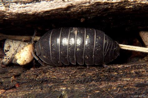 isopoda sow pill bugs north american insects spiders