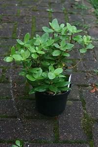 Kirschlorbeer Hat Braune Blätter : rhododendron gelbe bl tter rhododendron hat gelbe bl tter ~ Lizthompson.info Haus und Dekorationen